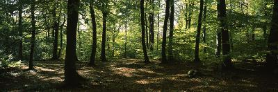 Beech Trees in a Forest, Viennese Forest, Lower Austria, Austria--Photographic Print