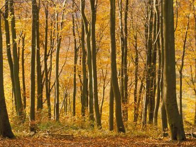 Beech Trees in Autumn, Queen Elizabeth Country Park, Hampshire, England, United Kingdom-Jean Brooks-Photographic Print