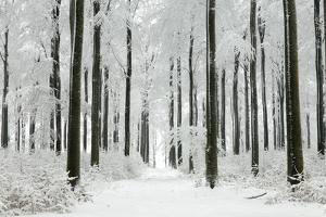 Beech Trees Woodland Covered in Winter Snow