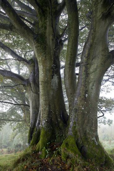 Beech Trees-Dr^ Keith-Photographic Print
