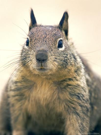 Beecheys Ground Squirrel, Close up Portrait, California, USA-David Courtenay-Photographic Print