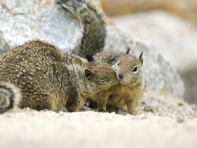 Beecheys Ground Squirrel, Squirrels Greeting, California, USA-David Courtenay-Photographic Print