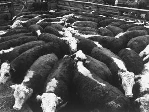 Beef Cattle Being Kept in a Pen at the Union Stockyards