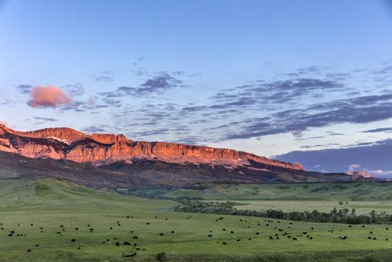 Beef cattle grazing below Walling Reef on the Rocky Mountain Front at sunrise near Dupuyer, Montana-Chuck Haney-Photographic Print