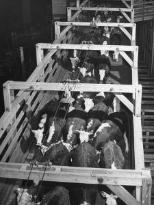 Beef Cattle Walking Down Ramp into Stockyard Pens