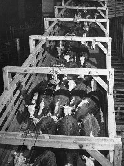 Beef Cattle Walking Down Ramp into Stockyard Pens--Photographic Print