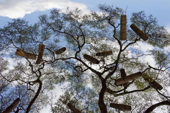 Beehives On Acacia Tree Arba Minch Southern Nations Ethiopia