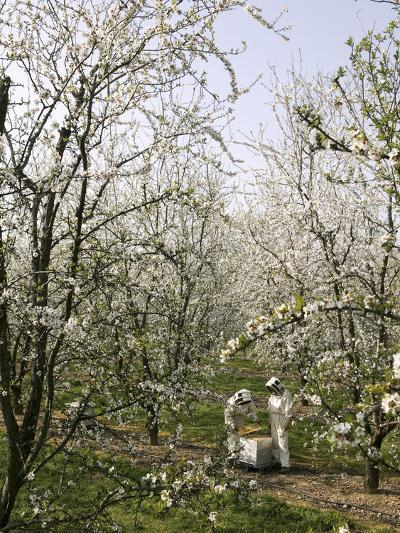 Beekeepers Placing Honey Bee Hives Among Almond Trees in an Orchard-Eric Tourneret-Photographic Print