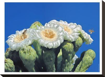 Bees And Saguaro Blossom-Murray Bolesta-Stretched Canvas Print