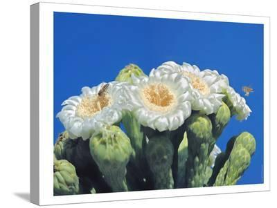 Bees And Saguaro Blossom-Murray Bolesta-Stretched Canvas Print