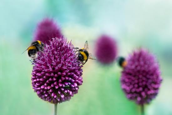 Bees on Allium Sphaerocephalon. Allium Drumstick, also known as Sphaerocephalon, Produces Two-Toned-Onelia Pena-Photographic Print