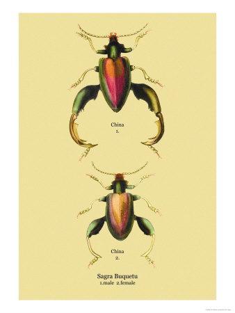 https://imgc.artprintimages.com/img/print/beetle-chinese-sagra-buquetu_u-l-p27wjn0.jpg?p=0