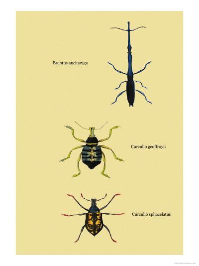 Beetles: Brentus Anchorago, Curculio Geoffroy-Sir William Jardine-Art Print
