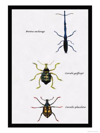 https://imgc.artprintimages.com/img/print/beetles-brentus-anchorago-curculio-geoffroy_u-l-p2aas60.jpg?p=0