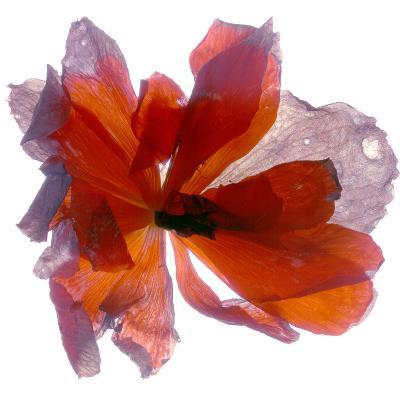 Begonia Round-Julia McLemore-Photographic Print