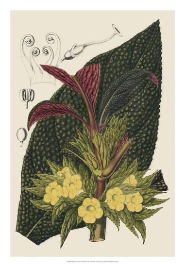 Begonia Varieties II-Stroobant-Giclee Print