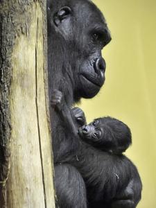 APTOPIX Hungary Newborn Gorilla by Bela Szandelszky
