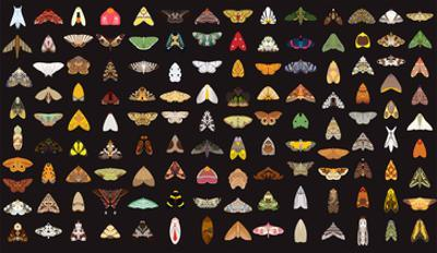 Pachanga Moths from Ecuador