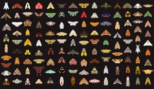 Pachanga Moths from Ecuador by Belen Mena