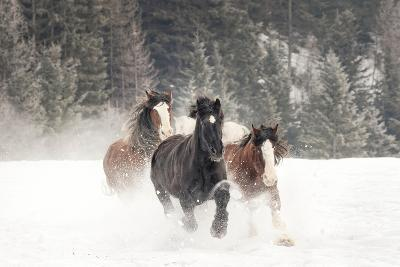 Belgian Horse roundup in winter, Kalispell, Montana.-Adam Jones-Photographic Print