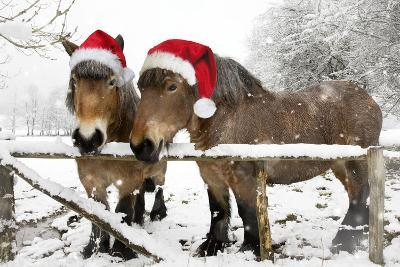 Belgian Horses in Winter Wearing Christmas Hats--Photographic Print
