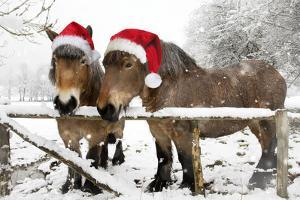 Belgian Horses in Winter Wearing Christmas Hats