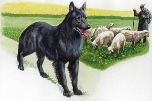 Belgian Sheepdog (Canis Lupus Familiaris) Guarding Flock