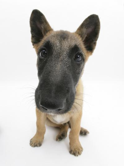 Belgian Shepherd Dog Puppy, Antar, 10 Weeks, Sitting, Looking Up-Mark Taylor-Photographic Print