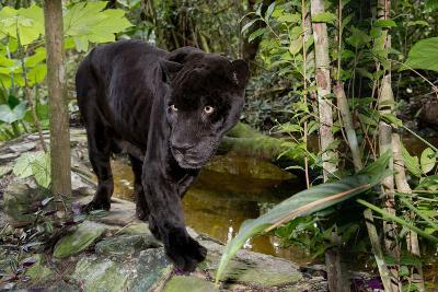 Belize, Belize City, Belize City Zoo. Black Panther (Captive)-Cindy Miller Hopkins-Photographic Print