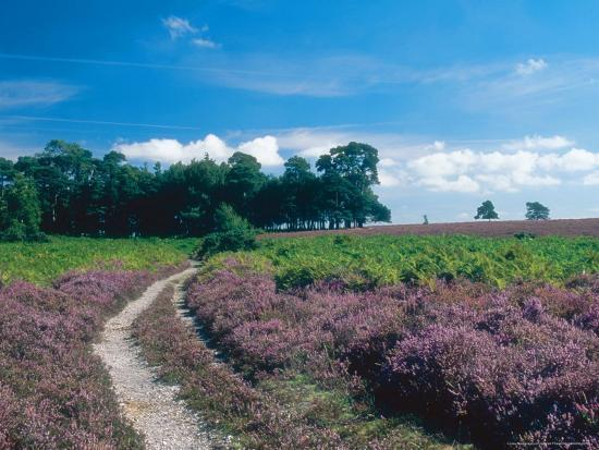 Bell Heather and Ling, Ibsley Common, Hampshire, UK-Ian West-Photographic Print