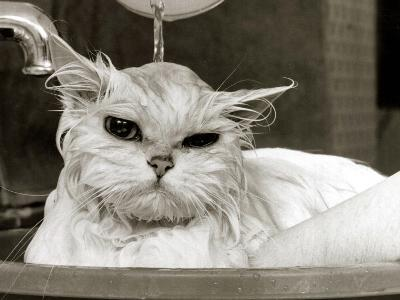 Bella the Persian Cat Gets a Soaking to Prepare Her for Shows, April 1985--Photographic Print