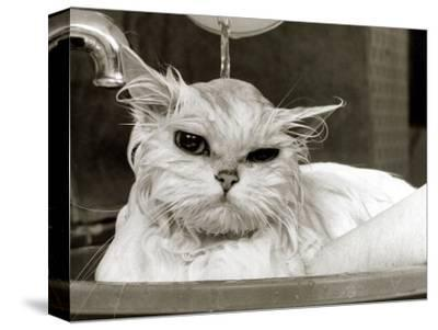 Bella the Persian Cat Gets a Soaking to Prepare Her for Shows, April 1985