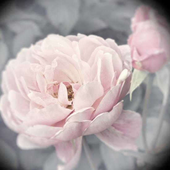 Belle Rose I-Linda Wood-Giclee Print