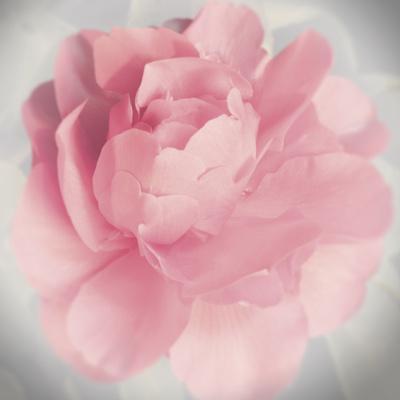 https://imgc.artprintimages.com/img/print/belle-rose-iv_u-l-f90br20.jpg?p=0
