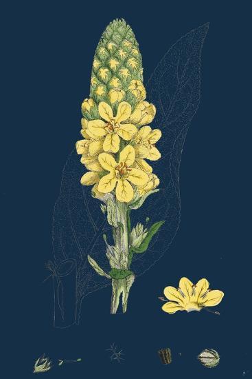 Bellis Perennis; Common Daisy--Giclee Print
