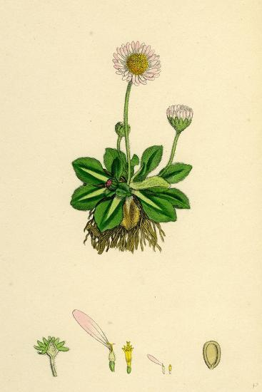 Bellis Perennis Common Daisy--Giclee Print