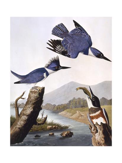Belted Kingfishe-John James Audubon-Giclee Print