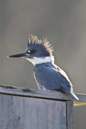 Belted Kingfisher Sitting on Wood Duck Nest Box, Marion, Illinois, Usa-Richard ans Susan Day-Photographic Print