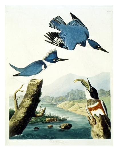 Belted Kingfisher-John James Audubon-Giclee Print