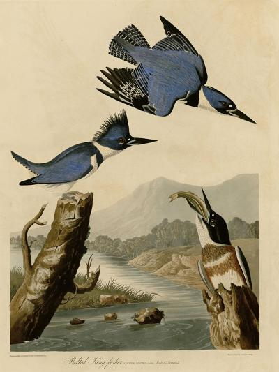 Belted Kingfisher--Giclee Print