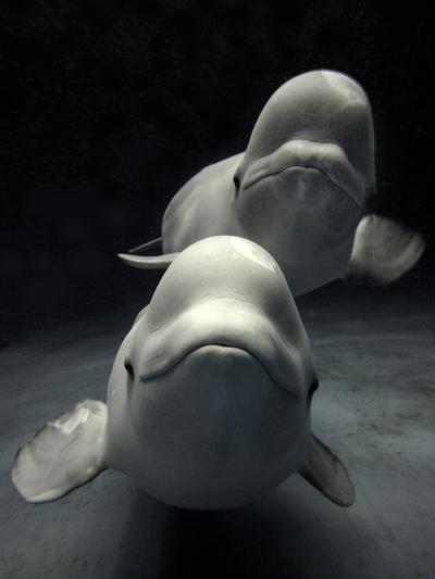 Beluga (Delphinapterus Leucas) Whale Pair Swimming Together, Shimane Aquarium, Japan-Hiroya Minakuchi/Minden Pictures-Photographic Print