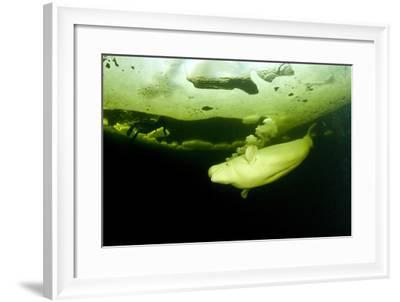 Beluga Whale (Delphinapterus Leucas) Swimming Under Ice And Exhaling Air-Franco Banfi-Framed Photographic Print