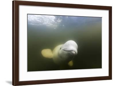 Beluga Whale, Hudson Bay, Canada--Framed Photographic Print