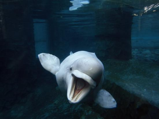 Beluga Whale Swimming with an Open Mouth Threat Display-Paul Sutherland-Photographic Print