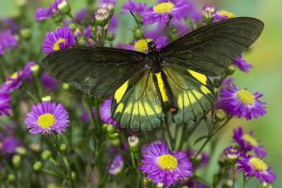Belus Swallowtail Butterfly on Small Pink Daisy-Darrell Gulin-Photographic Print