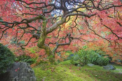 A Japanese Maple Turns Orange and Red at the Portland, Oregon Japanese Garden