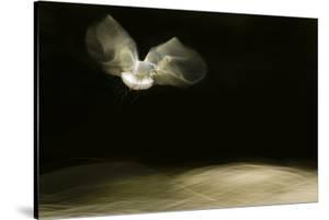Black-Headed Gull (Chroicocephalus Ridibundus) in Flight, Cheshire, UK by Ben Hall