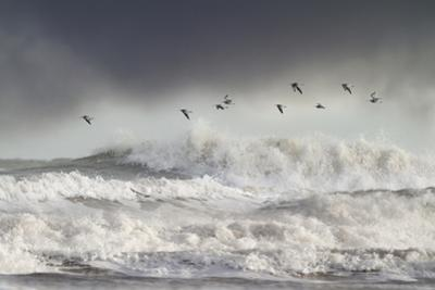 Curlews (Numenius Arquata) Group Flying over the Sea During Storm