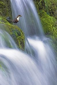 Dipper (Cinclus Cinclus) Perched on Moss-Covered Waterfall, Peak District Np, Derbyshire, UK by Ben Hall