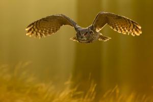 Eagle Owl (Bubo Bubo) in Flight Through Forest, Backlit at Dawn, Czech Republic, November. Captive by Ben Hall